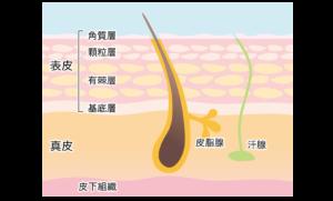 肌の三層構造